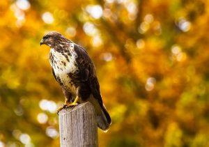 aren ornitologia